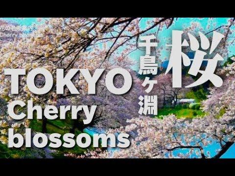 La Naturaleza Nos Regala La Sakura Rosada o Flor De Cerezo
