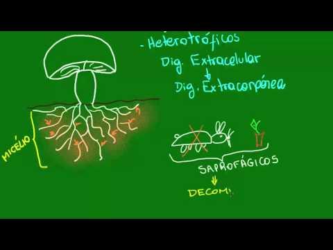 Óleos essenciais os fungos de trato