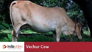 Vechur Cow - a rare cattle breed of Kerala