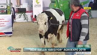 ŞAMPİYON SIĞIRLAR YARIŞIYOR / Çiftçi TV