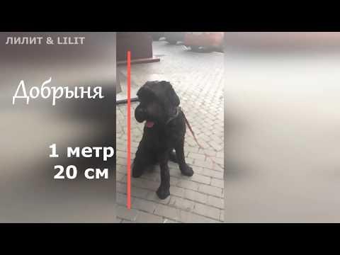 Ника и Добрыня. #собакены  #питомцы