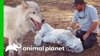 """Big Bad Wolf"" Finds Love At Lockwood Animal Rescue 