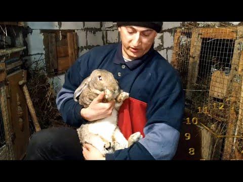 Какие породы кроликов лучше разводить на мясо?