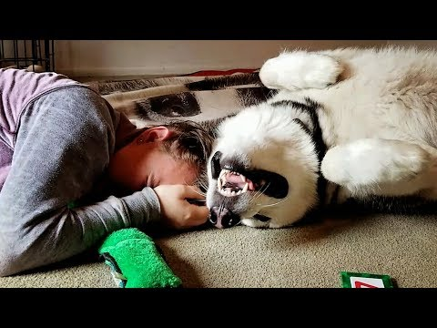 Malamute Scent Rubs On His Niece Again.......lol