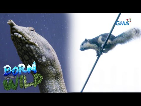[GMA]  Born to be Wild: Great invaders of the Philippine ecosystem
