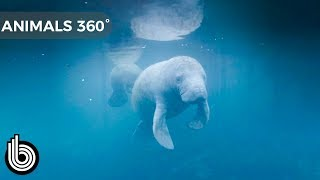 Two Manatees Underwater | Animals In 360°