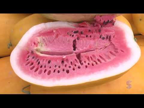 JARU-RO: O sucesso da melancia da casca amarela - Gente de Opinião