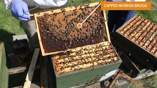 Beekeeping UK 10 Things to Identify in a hive, best hive inspection!