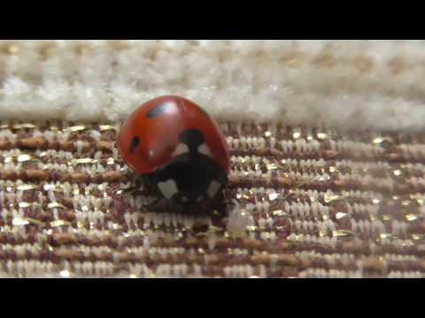 БОЖЬЯ КОРОВКА/ladybug