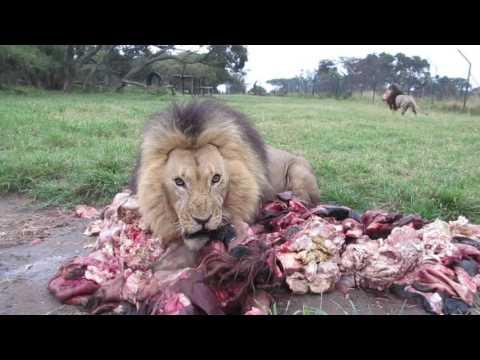 Поведение львов при виде свежего мяса