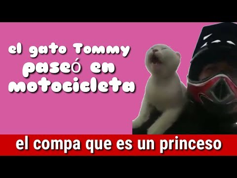 El gato Tommy en motocicleta | todo un princeso