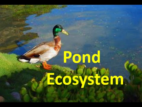 Pond Ecosystem for kids - Pond Ecology Facts \u0026 Quiz