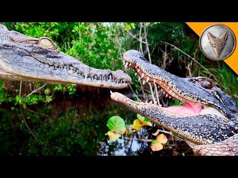 Aligátor vs. krokodýl - Brave Wilderness