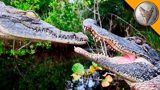 Alligator vs Crocodile!