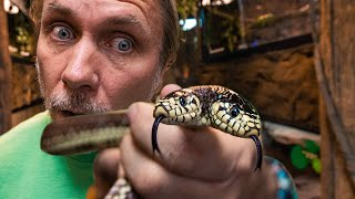 MY TWO HEADED SNAKE IS NOT EATING?? WHY??   BRIAN BARCZYK