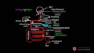 Пищеварительная система человека | Рост и обмен веществ | Медицина (2 часть из 4)