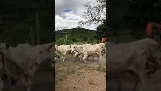 Bovino Corte Nelore Vaca 11-15@ - e-rural Imagens