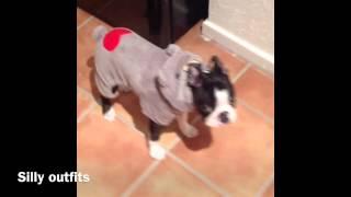 Bertie the boston terrier 9 weeks to 1 year old.