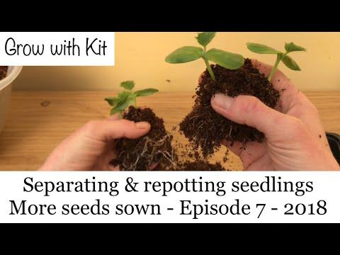 , title : 'Separating/pricking out & Potting up Cucumber seedlings