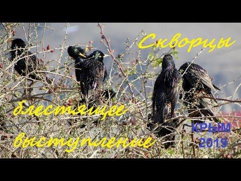 Скворец обыкновенный Sturnus vulgaris, Крым 2019, Солнечная Долина, 2 апреля