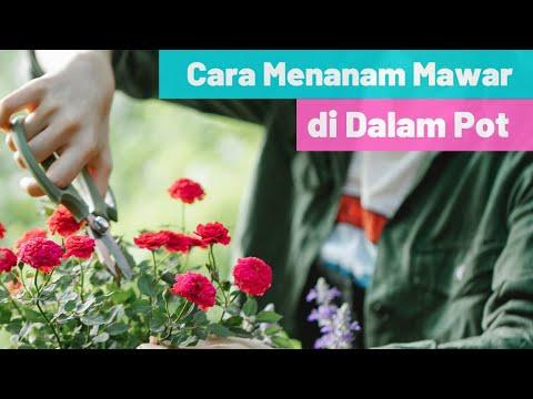Video Cara Menanam Mawar Dalam Pot