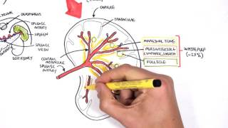 Ahoj New video on the anatomy and physiology of the spleen This