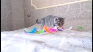 Милая британская леди. Британские котята питомника.
