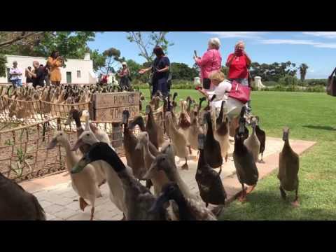 Patke čuvaju vinograde u Južnoj Africi