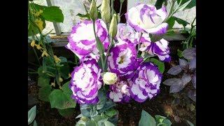 Эустома в цвету. Лучшие расцветки.