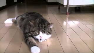 Maru ленивая котейка