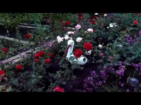Розы в моем саду июнь 2017