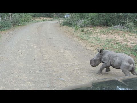 Крошечный носорожек атакует автомобиль