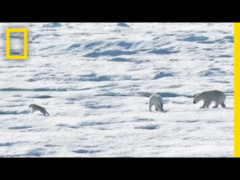 EXCLUSIVE: Male Polar Bear Chases and Eats Cub | National Geographic thumbnail