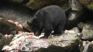 Salmon Buffet for Bears