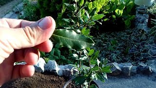 Health benefits of Bay Laurel / how to repot Laurus nobilis