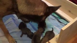 Belgian Malinois Puppies For Sale - belgianmalinoispuppy.com