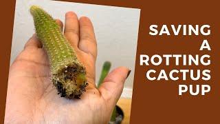 Saving a Rotting Cactus Pup + Care Tips