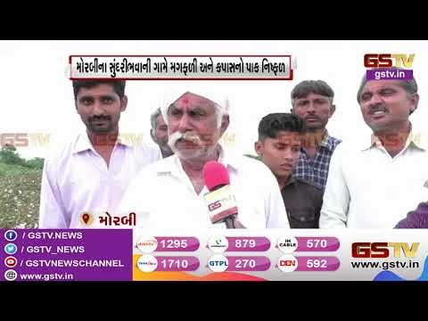 Morbi : સુંદરીભવાની ગામે મગફળી અને કપાસનો પાક નિષ્ફળ | Gstv Gujarati News