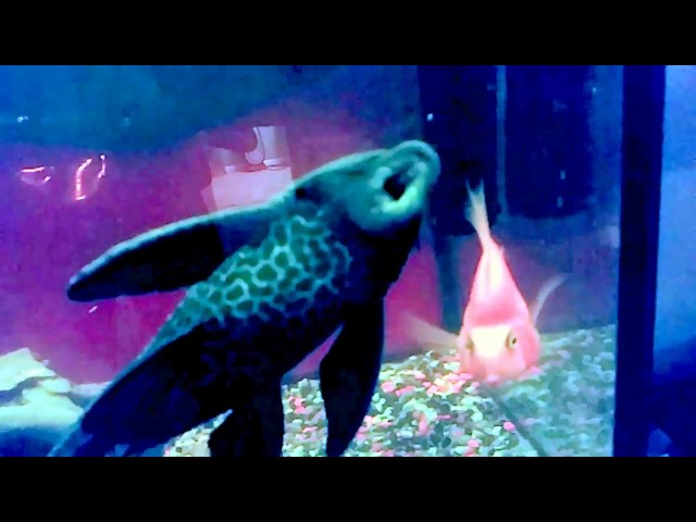 A Bad Lip Reading...Tropical Fish Style