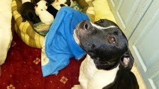 Dolly the rescue Staffie mum at NCAR