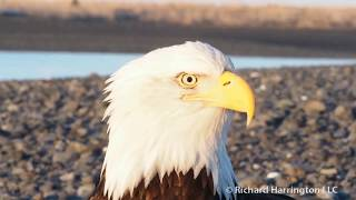 The Bald Eagle Is The Only Eagle Unique To North America