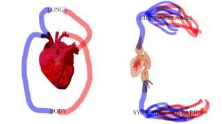 Double Circulatory System vs  Single Circulatory System720p