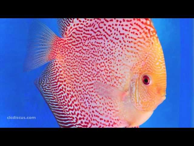 Discus Fish Gallery
