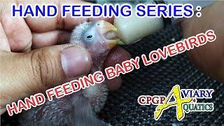 HAND FEEDING SERIES : HAND FEEDING BABY LOVEBIRDS