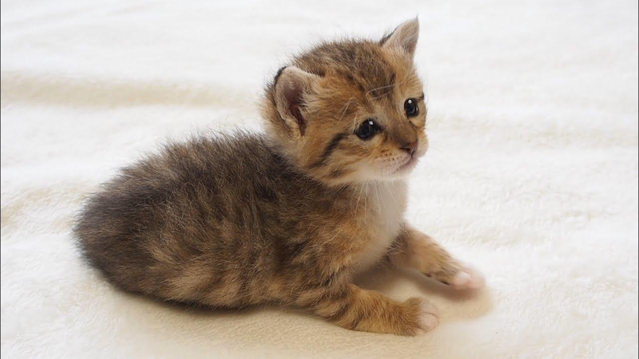 寝ぼけ顔の子猫が上目遣いでご飯はまだですかと問いかける。【赤ちゃん猫】【保護猫】