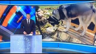 Хаски зверски задушили в Наро-Фоминском округе