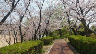 錦が丘中央公園 桜