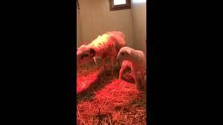 La oveja Paloma y su hijo Martín felices | Os contamos una buena noticia. | Kholo.pk