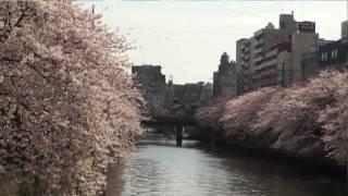 桜の大岡川流域を歩く