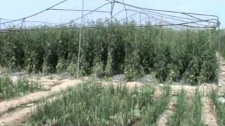 Mirza Farms, Okara.Tomato Tunnel farming vegetable pakistan, by Sajid iqbal Sandhu, 0321-8669044.MPG